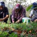 Köylüler toptancıları suçladı: Bizden 5 TL'ye alınan kestane büyükşehirde 40 TL
