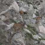 Artvin'de yaban keçileri yiyecek ararken görüntülendi