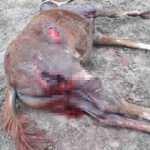 Aç kalan köpekler milyonluk atları parçaladı