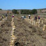 Tokat'ta üretilen patates verimi ve fiyatıyla üreticisini sevindirdi