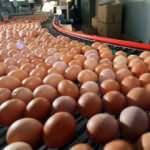 """YUM-BİR Başkanı Afyon: """"Yumurta üreticileri geçen yıl toplamda yüzde 12 zarar etti"""""""