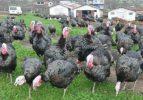 Tavuk ve hindi eti üretimi azaldı