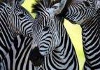 Zebraların çizgileri ne işe yarıyor?