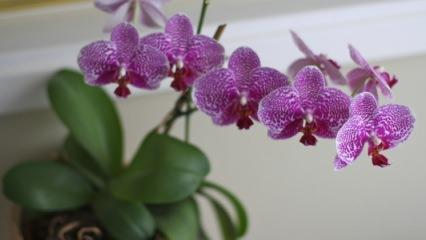 Orkide bakımı nasıl yapılır? Orkide budama ve sulama için...