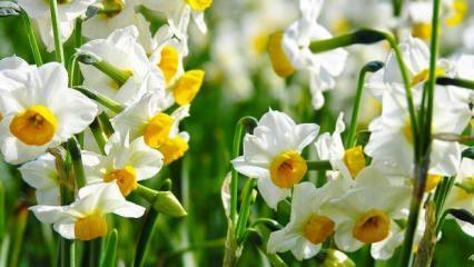 Nergis bitkisi nasıl çoğaltılır? Yöntemleri nelerdir?