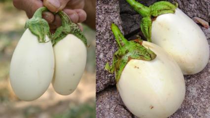 Yumurta çiçeğinin (beyaz patlıcan) faydaları neledir? Kanseri önlediği kanıtlandı!