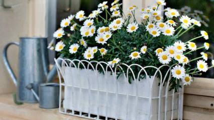 Papatya nasıl yetiştirilir? Saksıda papatya bakımı! Papatya çiçeği özellikleri ve faydaları