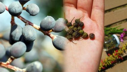 Kilo verdiren mucize tohum! Acı çehre tohumu nedir, ne işe yarar?
