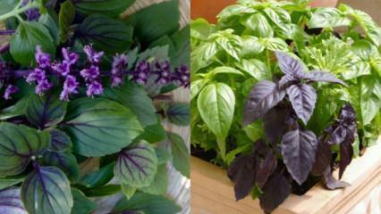 Reyhanın faydaları: Hangi rahatsızlıklara karşı Reyhan bitkisi koruyucu etki gösterir?