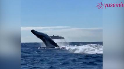 İki kambur balinanın Okyanus açıklarındaki şovu!