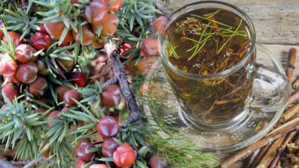Ardıç ağacının faydaları nelerdir? Ardıç ağacının tohumlarından elde edilen çay! Ardıç yağı