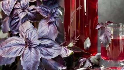 Reyhan bitkisinin faydaları nelerdir? Düzenli reyhan suyu tüketirseniz...