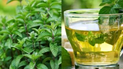 Nanenin faydaları - ne işe yarar: Evde nane çayı nasıl yapılır, tarifi!
