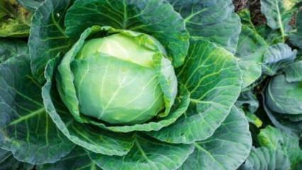 Kara lahananın faydaları neler? Kara lahanada hangi vitaminler vardır?