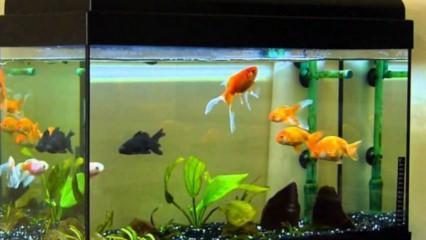 Japon balığının bakımı nasıl yapılır? Japon balığı özellikleri...