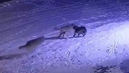 Erzurum'da aç kalan kurtlar köpeği böyle parçaladı