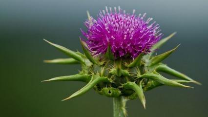 Deve dikeni tohumu nedir ve nasıl kullanılır? Deve dikeni tohumunun faydaları nelerdir?