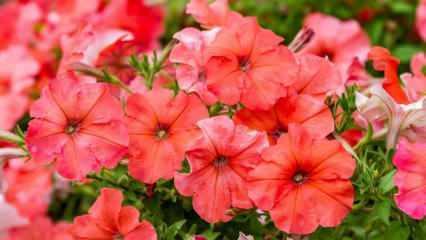 Petunya çiçeğinin bakımı nasıl yapılır? Evde petunya çiçeği nasıl yetiştirilir?