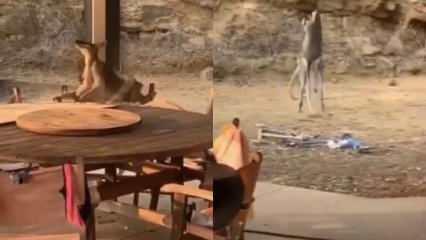 İki kangurunun kıran kırana kavgası ağızları açık bıraktırdı!
