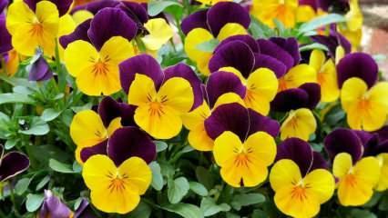 Menekşe çiçeğinin bakımı nasıl yapılır? Menekşe çiçeği nasıl çoğaltılır?