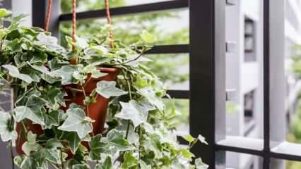 Sarmaşık nasıl bakılır? Evde sarmaşık bitkisi bakımının püf noktaları