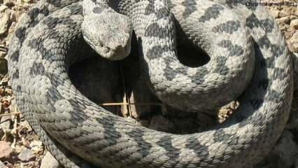 Ölümcül koca engerek yılanı tehlikesi! Boyu 7 metre