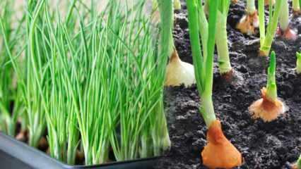 Saksıda yeşil soğan nasıl yetiştirilir? Taze soğan yetiştirmenin püf noktaları