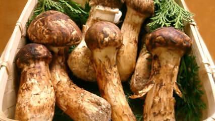 Matsutake mantarı nedir? Matsutake mantarının faydaları! Tam bir protein deposu matsutake...
