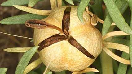 Üzerlik tohumunun faydaları nelerdir? Soğuk algınlığında üzerlik tohumunun çayı içerseniz...