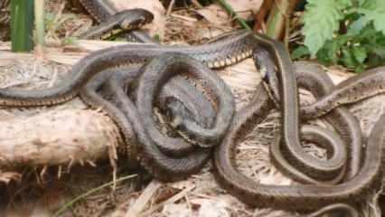 Göl kenarındaki yılanlar korkuttu!