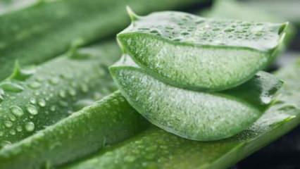Aloe Vera nasıl kullanılır? Aloe veranın faydaları nelerdir?