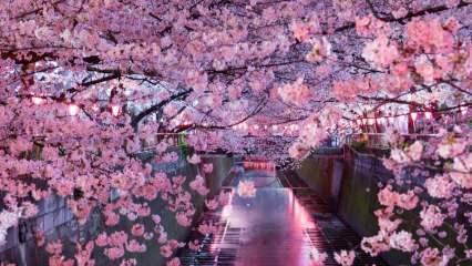 Sakura ne anlama geliyor? Sakura çiçeğinin bilinmeyen özellikleri