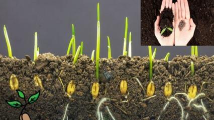 Tohum nedir |Tohum çimlenmesi nasıl gerçekleşir?