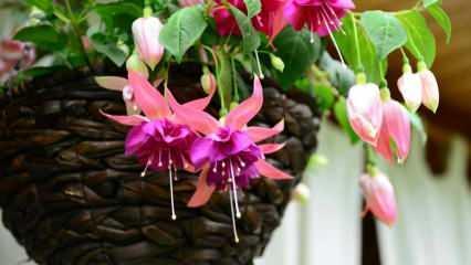 Küpe çiçeği nedir, bakımı nasıl yapılır?  Küpe çiçeğinin özellikleri ve faydaları nelerdir