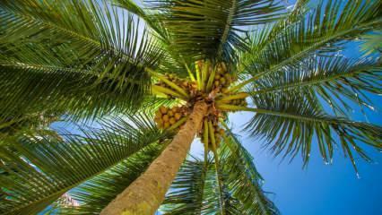 Palmiye ağacı nedir? Palmiye ağacı özellikleri nelerdir, nasıl yetiştirilir