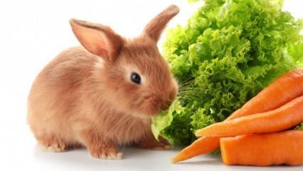 Tavşan ne yer ve neyle beslenir? Evde kolay tavşan bakımı