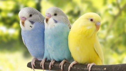 Muhabbet kuşu bakımı ve eğitimi nasıl olur? Muhabbet kuşu ele alıştırma
