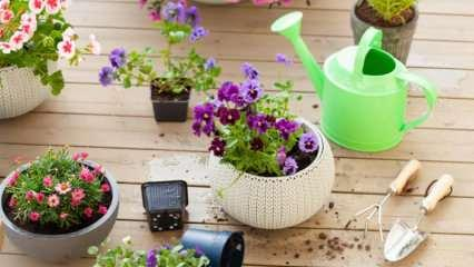 Çiçekler su vermeden ne kadar süre dayanır? Saksı çiçekleri kaç günde bir sulamak gerekir