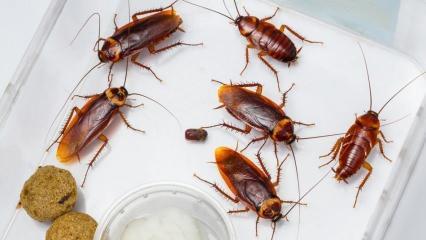 Evdeki hamam böceği nasıl ilaçlanır? Hamam böceği nasıl yok edilir