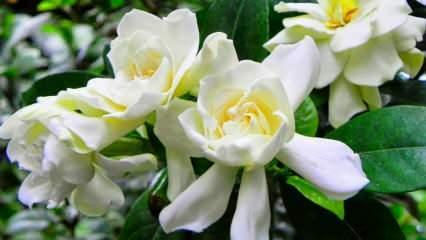 Gardenya çiçeğinin faydaları ve özellikleri...