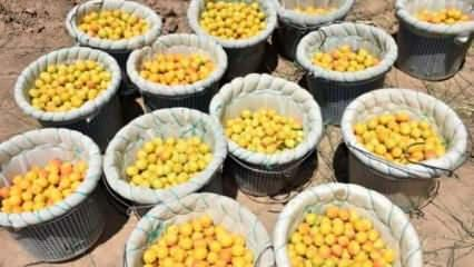 Kayısının başkenti Malatya'da hasat sona eriyor