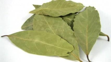 Defne yaprağının faydaları nelerdir? Kuru defne yaprağı çayı nasıl yapılır?