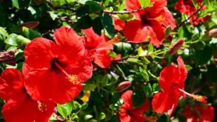 Hibiskus çayı nasıl demlenir faydaları nelerdir? Hatmi çiçeği (Hibiskus) faydaları ve zararları
