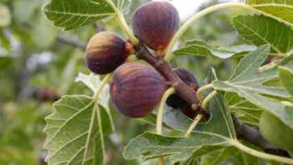 İncir yaprağının faydaları nelerdir? İncir yaprağı nasıl kullanılır?