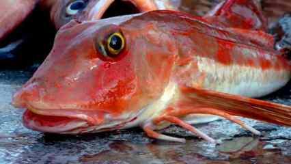 Masterchef'te yarışmacıların kırlangıç balığıyla imtihanı..