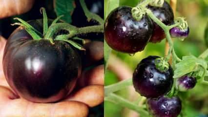 Kanserin baş düşmanı: Siyah domates nedir? Siyah domatesin faydaları nelerdir?