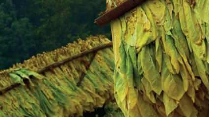 """""""Yüzde 30 yerli tütün zorunluluğu"""" üreticiyi sevindirdi"""