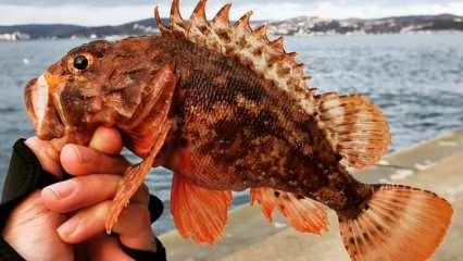 İskorpit balığının faydaları nelerdir? İskorpit balığı nasıl tüketilir?