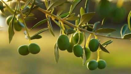 Rüyada zeytin dalı görmek ne demek? Rüyada zeytin yemek hayırlı mıdır?