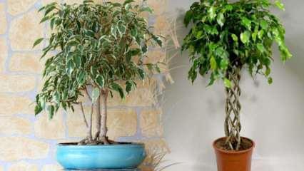 Benjamin çiçeği bakımı nasıl yapılır? Benjamin (Ficus) çoğaltma ve sulama yöntemleri...